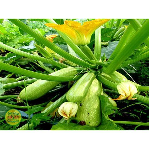 кабачок хьюго купить семена в москве